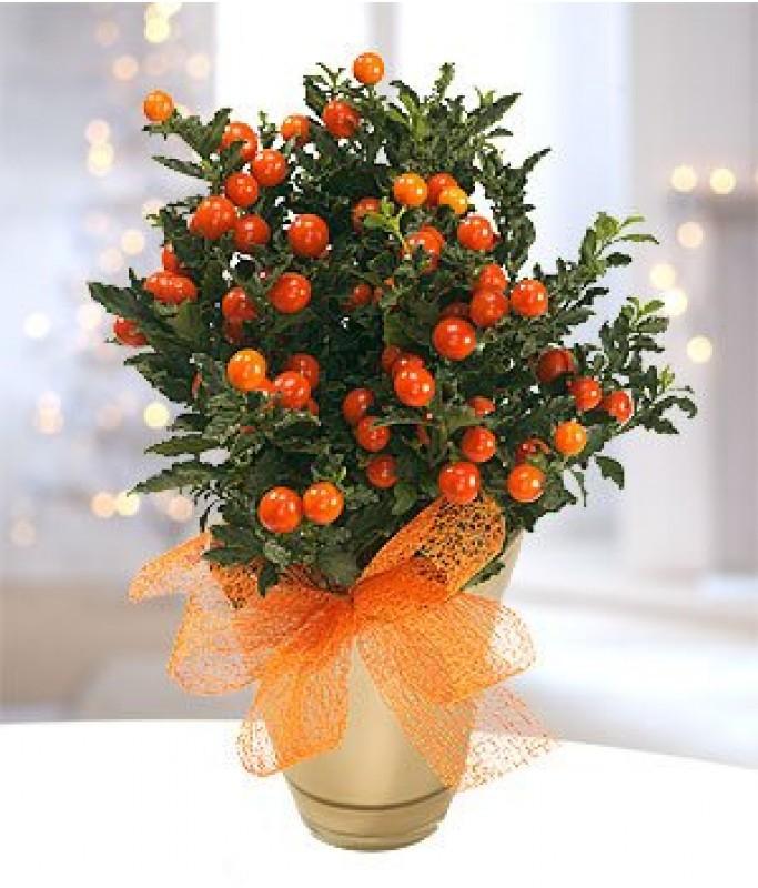 Christmas Solanum Plant